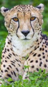 Preview wallpaper cheetah, animal, big cat, predator, wild