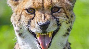 Preview wallpaper cheetah, animal, fangs, predator
