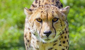 Preview wallpaper cheetah, animal, glance, predator, wildlife