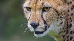 Preview wallpaper cheetah, animal, predator, glance