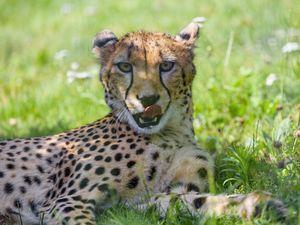 Preview wallpaper cheetah, animal, predator, big cat, protruding tongue