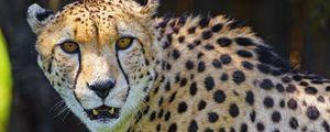 Preview wallpaper cheetah, animal, predator, fangs, big cat