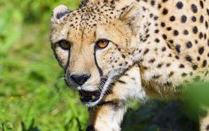 Preview wallpaper cheetah, animal, predator, glance, wildlife