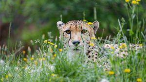 Preview wallpaper cheetah, big cat, glance, predator, grass