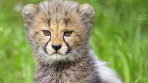 Preview wallpaper cheetah, cub, animal, moody, cute