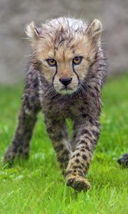 Preview wallpaper cheetah, cub, animal, predator, wet