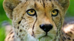 Preview wallpaper cheetah, face, baby, nose, close-up