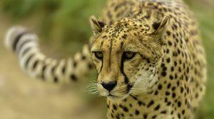 Preview wallpaper cheetah, face, blurring