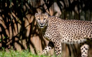 Preview wallpaper cheetah, glance, predator, animal