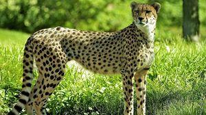Preview wallpaper cheetah, grass, predator, watch