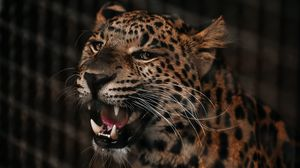 Preview wallpaper cheetah, grin, predator, muzzle, big cat, fangs