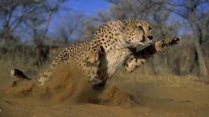 Preview wallpaper cheetah, jump, run, field, grass, dust