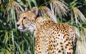 Preview wallpaper cheetah, predator, animal, glance, grass, wildlife
