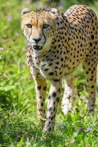 Preview wallpaper cheetah, predator, big cat, wildlife