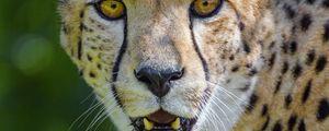 Preview wallpaper cheetah, predator, glance, fangs
