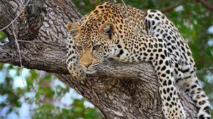 Preview wallpaper cheetah, predator, lying, big cat