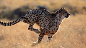 Preview wallpaper cheetah, speed, running