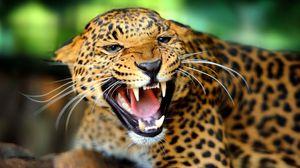 Preview wallpaper cheetah, teeth, predator, look, big cat