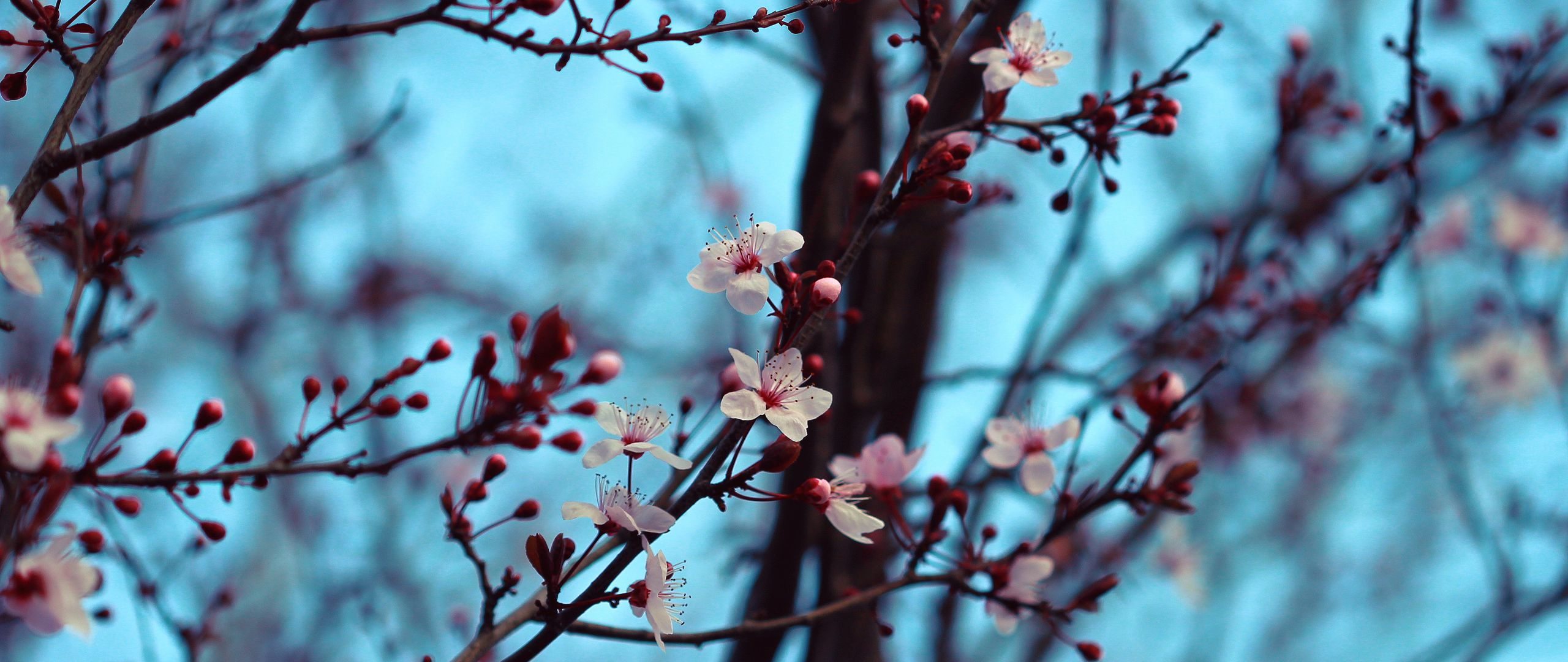 2560x1080 Wallpaper cherry, bloom, spring, branches, flowers