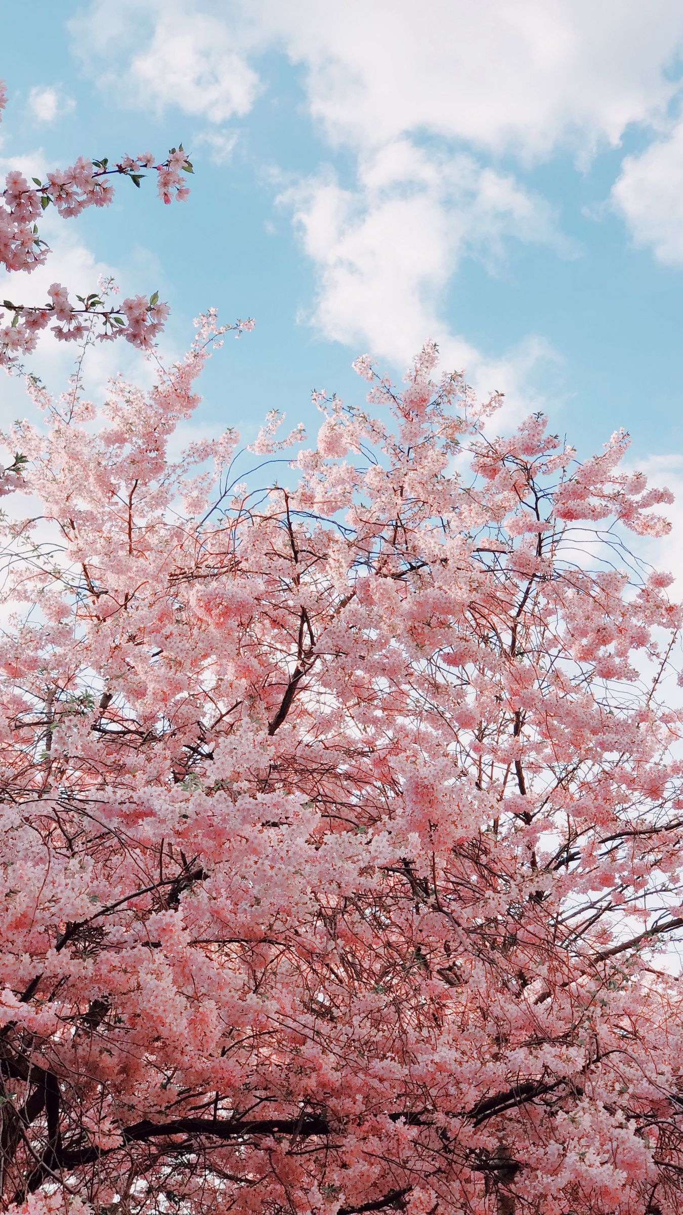 1350x2400 Wallpaper cherry, bloom, spring, flowers, branches, sky