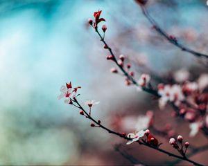 Preview wallpaper cherry, flowering, twig, blur