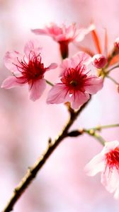 Preview wallpaper cherry, flowers, bloom, spring