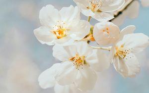 Preview wallpaper cherry, flowers, branch, macro, white