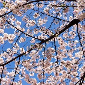 Preview wallpaper cherry, flowers, branches, spring