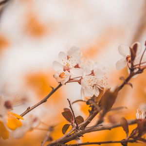 Preview wallpaper cherry, flowers, branches, macro, spring
