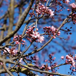 Preview wallpaper cherry, flowers, branches, pink, spring, macro