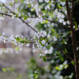Preview wallpaper cherry, flowers, branches, leaves, spring, macro