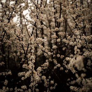 Preview wallpaper cherry, flowers, branches, spring, white