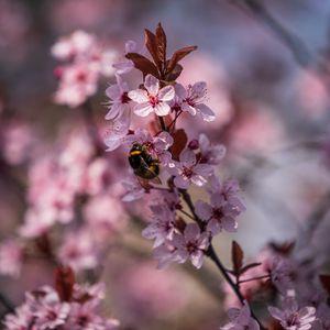 Preview wallpaper cherry, flowers, bumblebee, macro