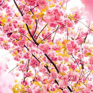 Preview wallpaper cherry, flowers, flowering, tree