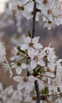 240x400 Wallpaper cherry, flowers, petals, branches, spring, white
