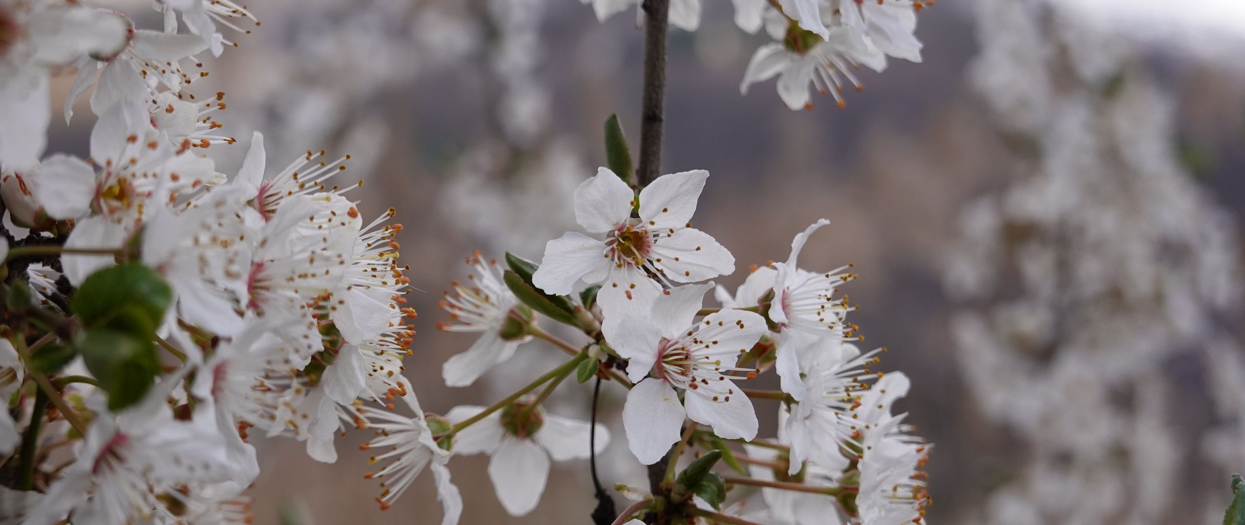2560x1080 Wallpaper cherry, flowers, petals, branches, spring, white