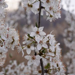 Preview wallpaper cherry, flowers, petals, branches, spring, white