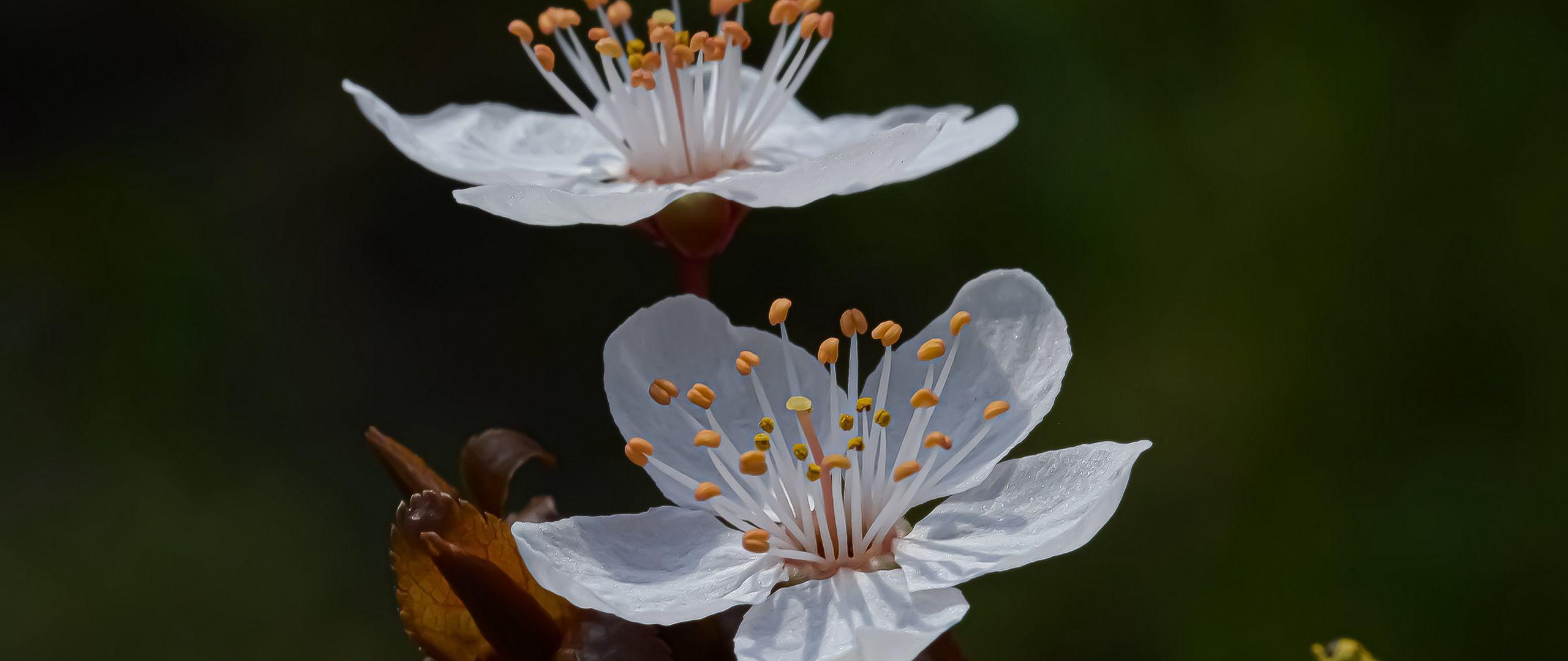 2560x1080 Wallpaper cherry, flowers, petals, branch, macro, spring