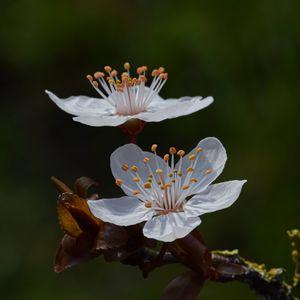 Preview wallpaper cherry, flowers, petals, branch, macro, spring