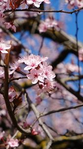 Preview wallpaper cherry, flowers, petals, branches, spring, macro, pink