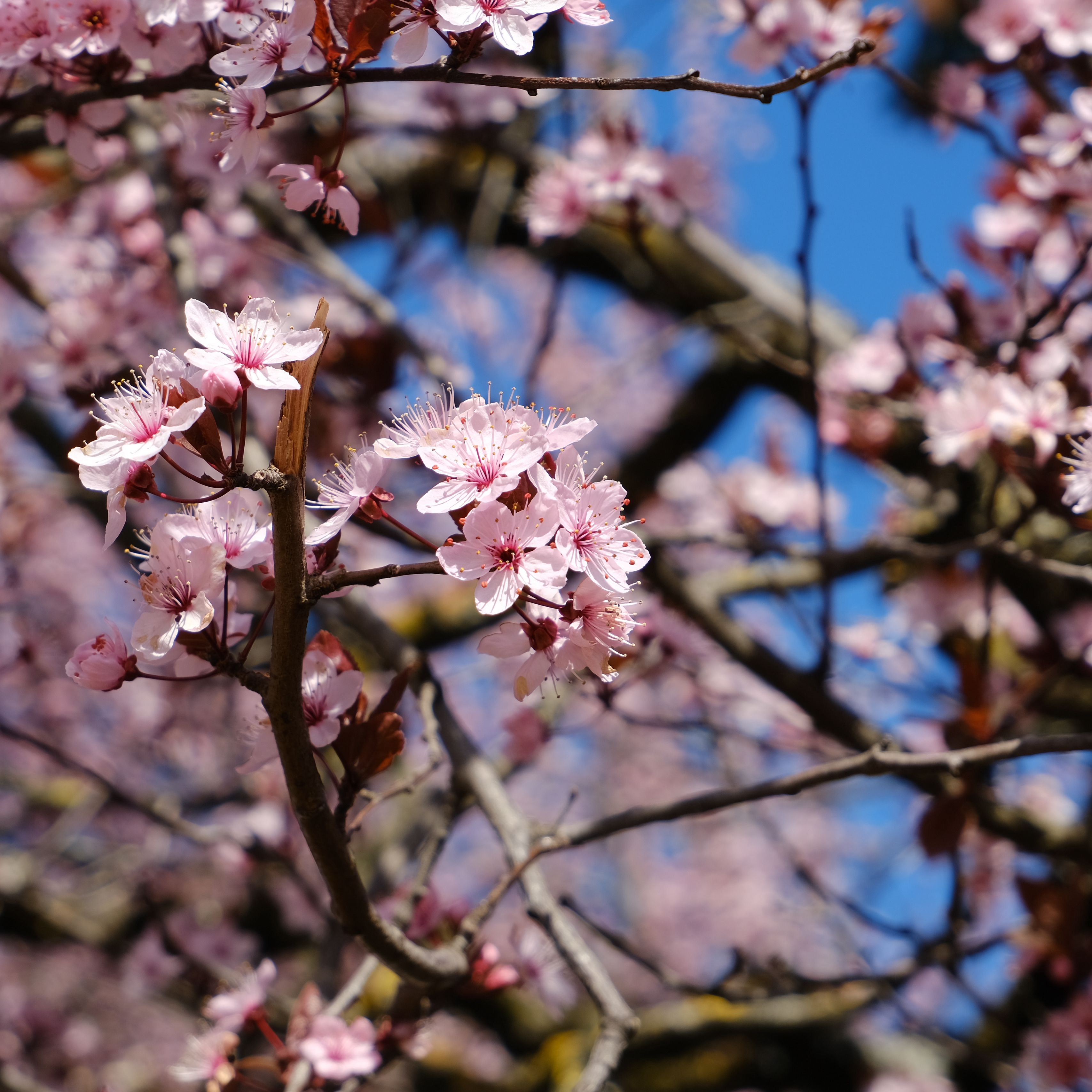 3415x3415 Wallpaper cherry, flowers, petals, branches, spring, macro, pink