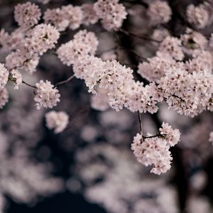 Preview wallpaper cherry, flowers, petals, branches, spring, macro