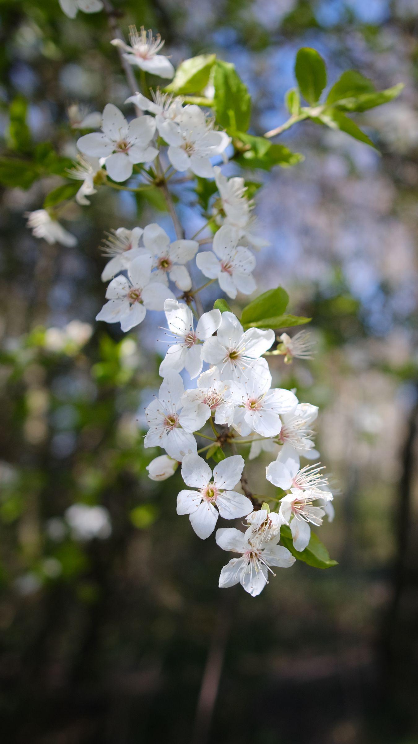1350x2400 Wallpaper cherry, flowers, spring, branch, macro, white