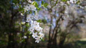 Preview wallpaper cherry, flowers, spring, branch, macro, white