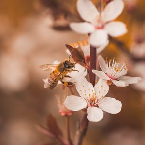 Preview wallpaper cherry, flowers, bee, insect, branches, macro
