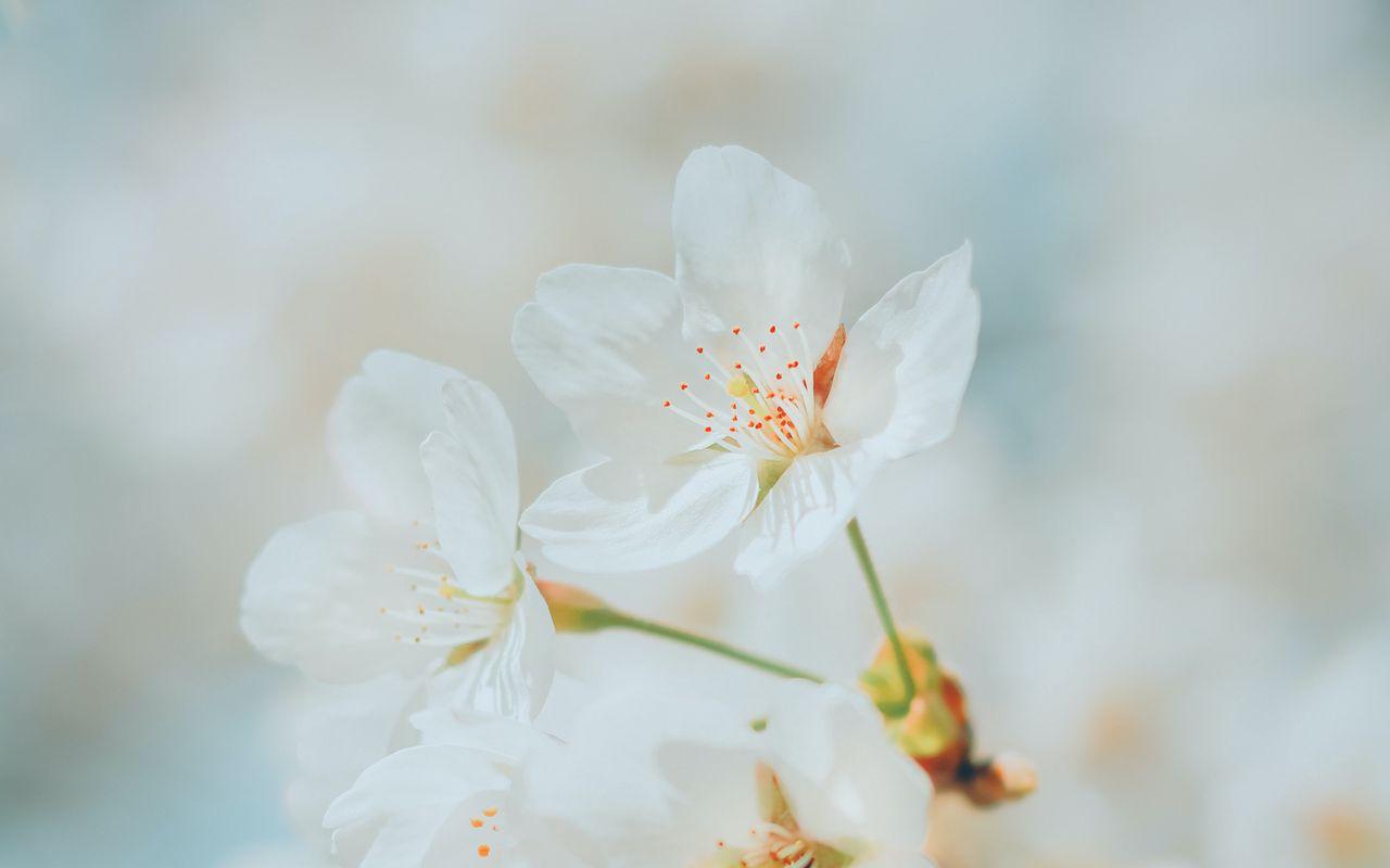 1280x800 Wallpaper cherry, flowers, white, macro