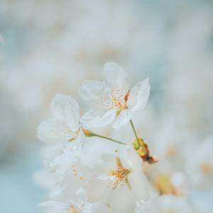 Preview wallpaper cherry, flowers, white, macro