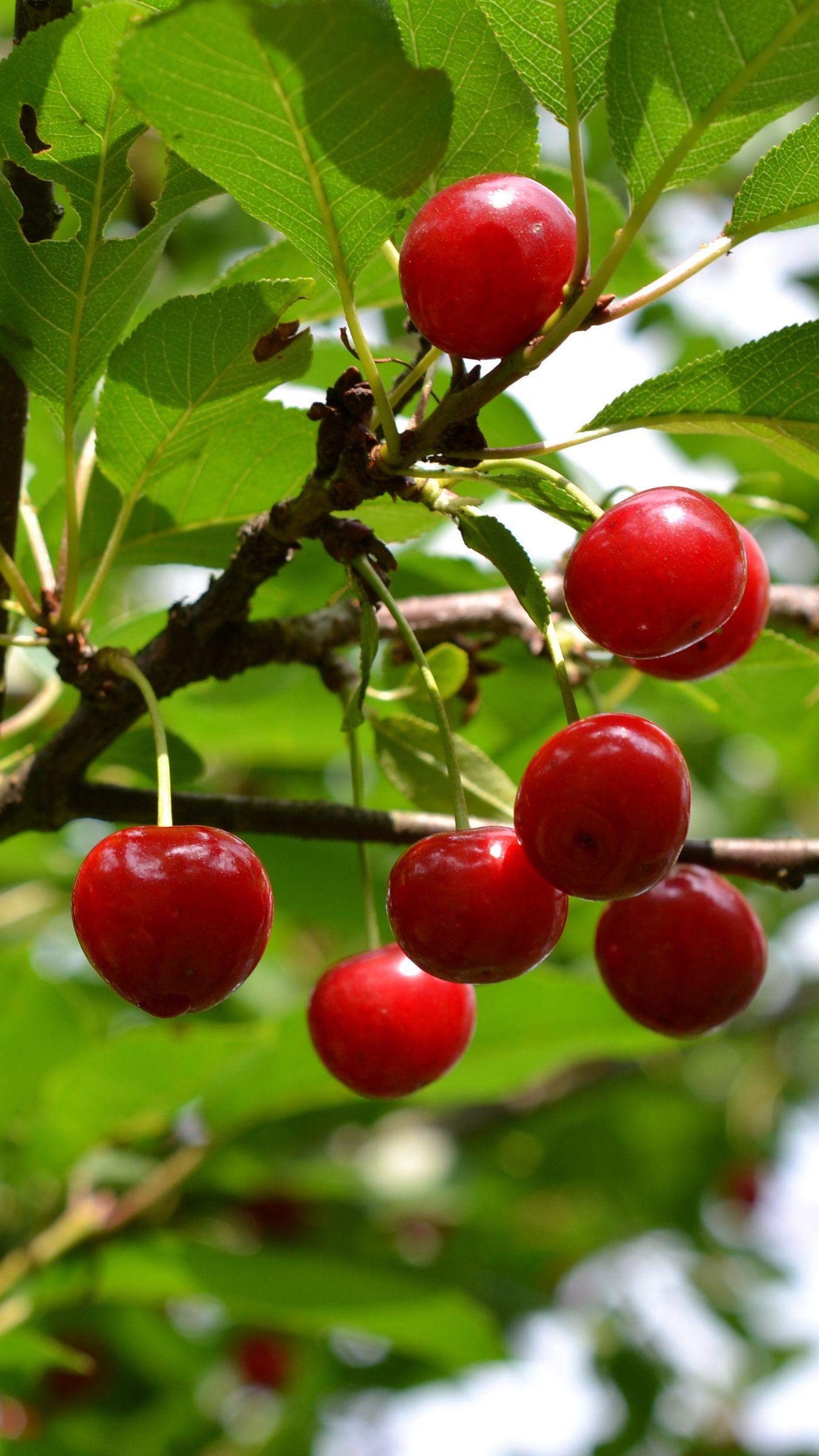 1350x2400 Wallpaper cherry, fruit, branch, tree