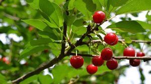 Preview wallpaper cherry, fruit, branch, tree