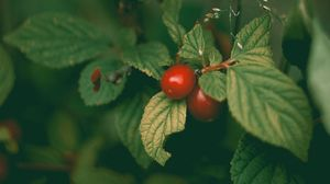 Preview wallpaper cherry, prunus tomentosa, berries, leaves, bush
